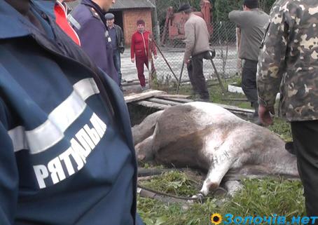"""Результат пошуку зображень за запитом """"корова впала в криницю"""""""