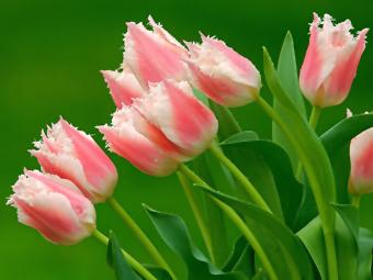 Скільки коштують квіти на 8 березня?
