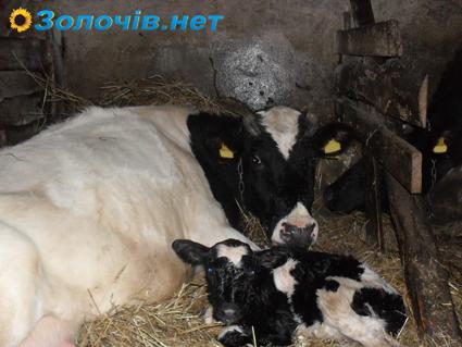 У Сновичах, Золочівського району, буде реконструйовано тваринницьку ферму