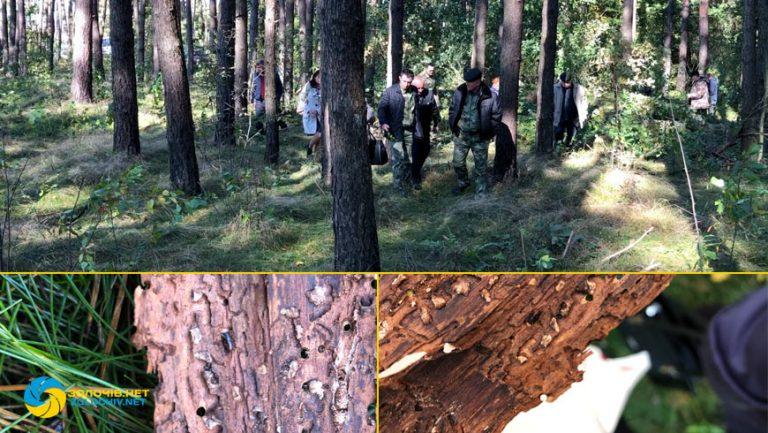 На Золочівщині лісники провели семінар через всихання дерев сосни