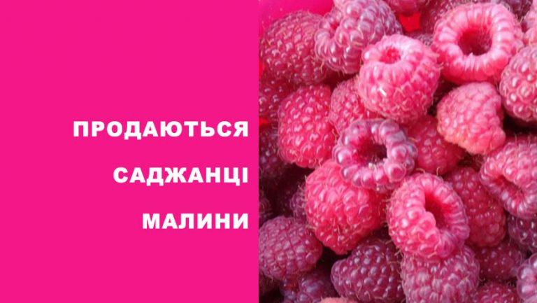 Продаються саджанці малини