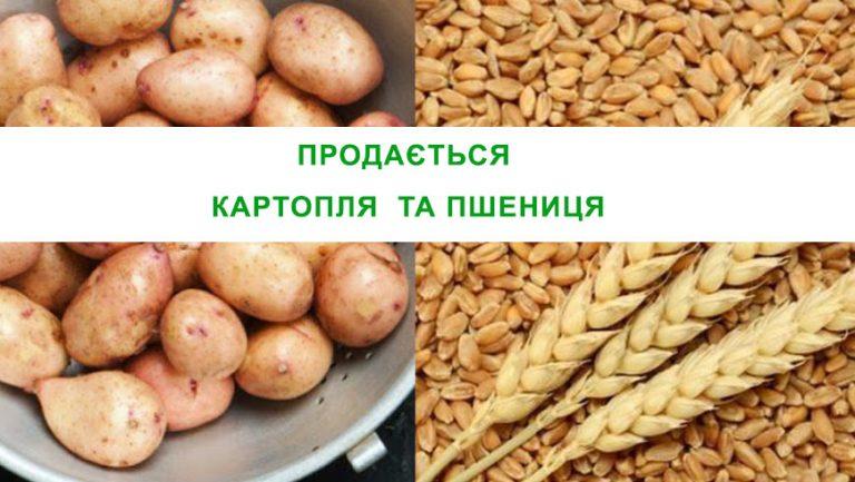 Продається картопля та пшениця